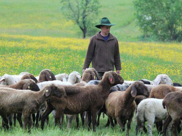 Kollmannsberger mit Schafen 3b