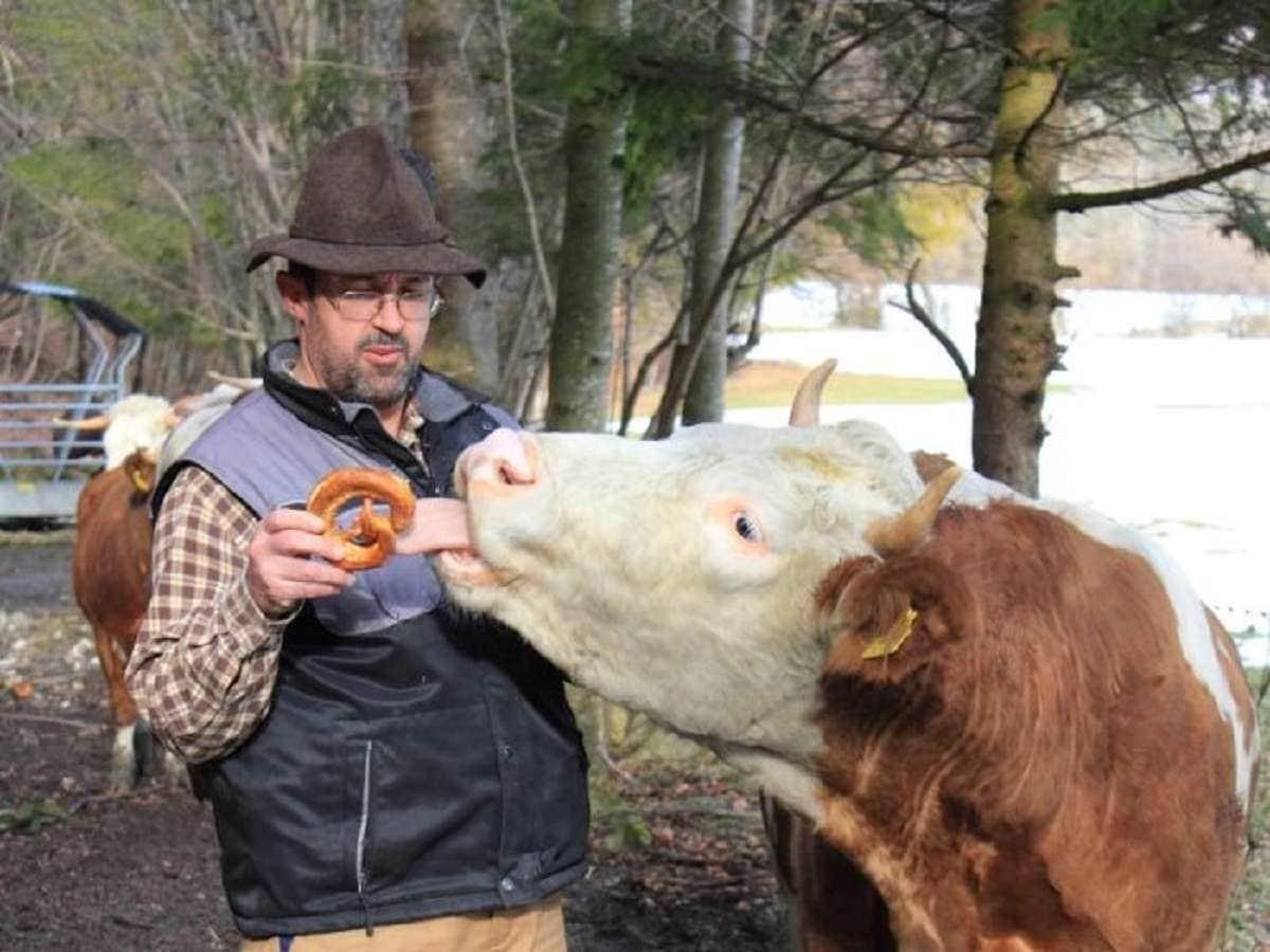 Herr Pertl mit Rind