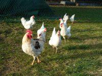 Frei laufende Hühner
