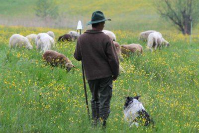 Kollmannsberger Schafe 3